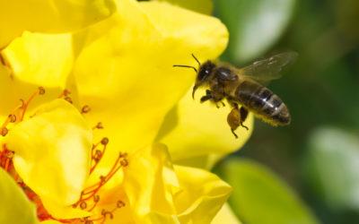 BeeOdiversity: les abeilles comme indicateurs de la qualité environnementale